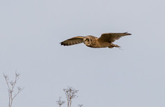 Short-eared Owl photo by Best Practices