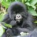 Gorilla Eatin