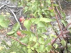 Raspberries?