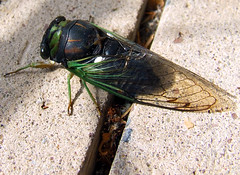 annual cicada on sidewalk crack