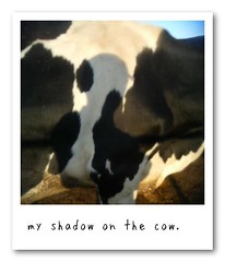 my shadow on the cow
