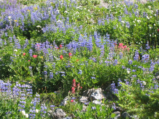 Lupines and Paintbrush
