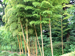 Bamboos in the Imperial Palace park