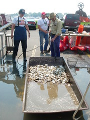 Cleaning Oysters -- With a Hose and Filthy Shovel.