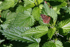 Speckled Wood, Fresh Nettles