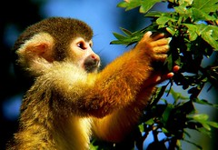 Squirell Monkey