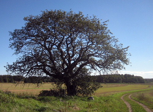 That Old Tree (September 16th)