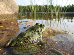 A bullfrog's view