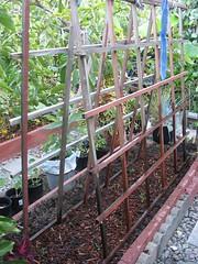 Planting Snow Peas