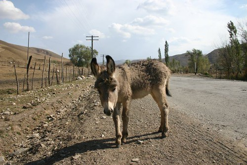The baby donkey of the Carrot Family...Kyrgyzstan.