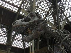 Squelette du T-Rex