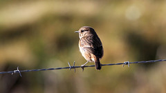 Stonechat photo by NickWakeling