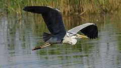 Grey Heron flypast photo by NickWakeling