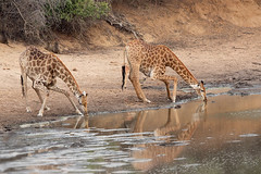 Fine art of drinking photo by Wild Dogger