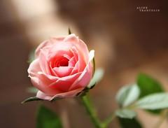 Mini Rosas photo by Aline Trancolin