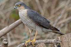 "Male Sparrowhawk ""Accipiter nisus"" photo by michael.jh"