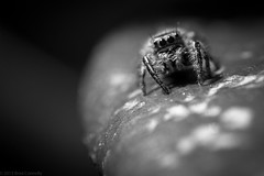 Mr Spider getting moody within Black and White... photo by bradleyconnolly