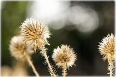 Seed Head in Spring Sunshine photo by Scruddy