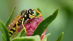 wasp on hibiscus blossom photo by Erich Hochstöger