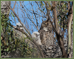 Great Horned Owl Family 4869 photo by maguire33@verizon.net
