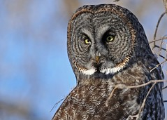 Great Gray Owl...#23 photo by Guy Lichter Photography - Thank you for 2M views