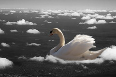 swan photo by art of imagined reality
