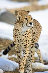 Snowbound Cheetahs