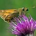 Moth on Thistle