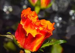 Rose photo by Maria Eklind