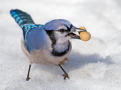 Blue Jay With Peanut photo by Brian E Kushner