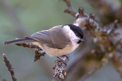 Willow tit photo by gallserud