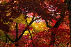 Red leaves of Eikan-do, Kyoto / 永観堂の紅葉(京都) photo by Kaoru Honda