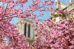 Cherry Blossom in Paris photo by Loïc Lagarde