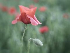Spring Poppy (Explore March 29, 2015) photo by Anne Worner