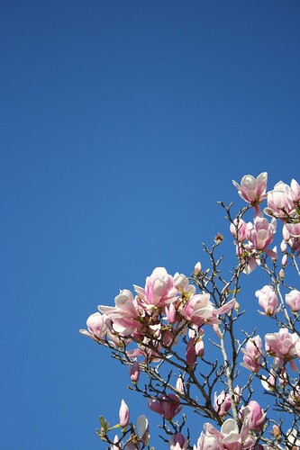 Big Blue Sky Magnolias