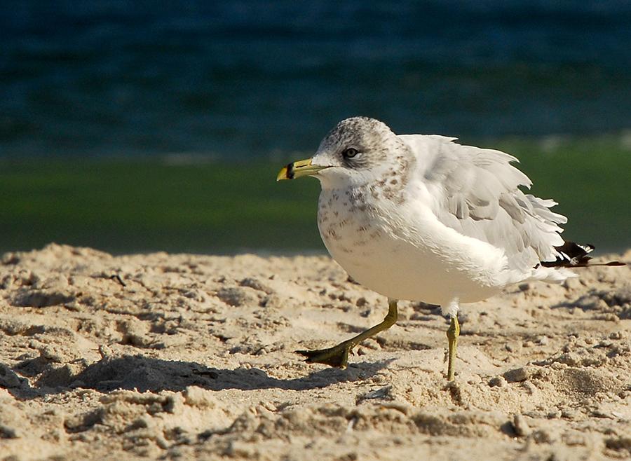 gull dance