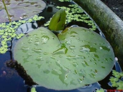 2006-08-22 Seerose