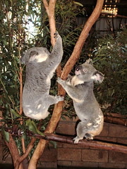 Koalas Being Active