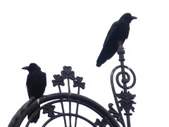 Crows photo by Anupam Kamal