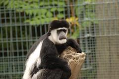 Colobus Monkey 2