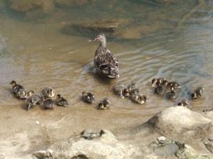 duck family 3