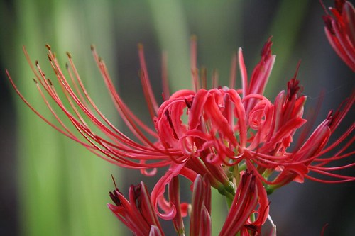 A cluster amaryllis part2