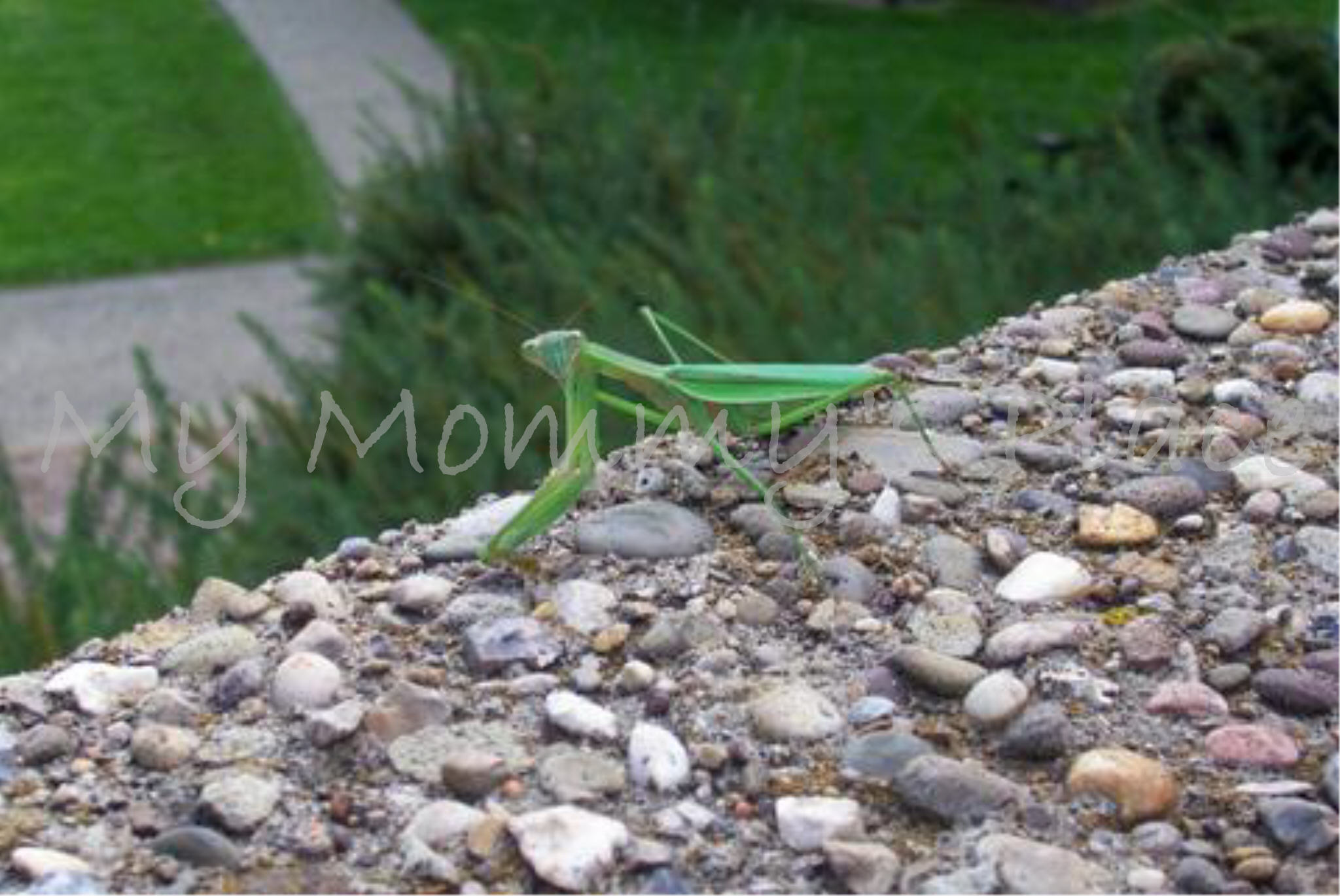 Praying Mantis at Oglebay