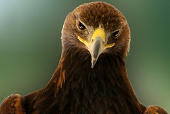 Golden eagle photo by khosey1