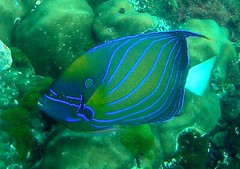 Ring Angelfish Indian Sea Version