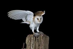 Barn Owl (Tyto alba) photo by phil winter