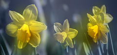 daffodils photo by augustynbatko