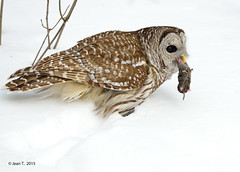 Chouette rayée / Barred Owl photo by anjoudiscus