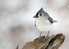 Tufted Titmouse photo by Bill'sLIPhotos