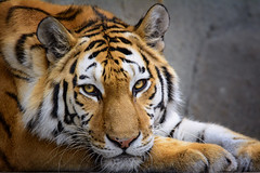 Tiger [EXPLORED] photo by BeetleBrained